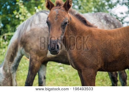 A gray horse with a black foal is easy to graze near the village