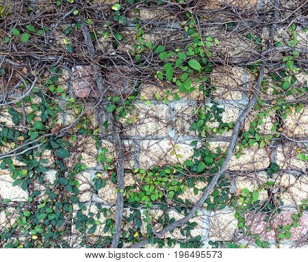 A natural stone wall is covered by climbing plants