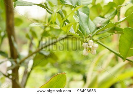 Kaffir lime flower tropical plant and herb blooming in garden