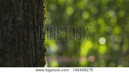 linden tree with blurred background, wide phgoto