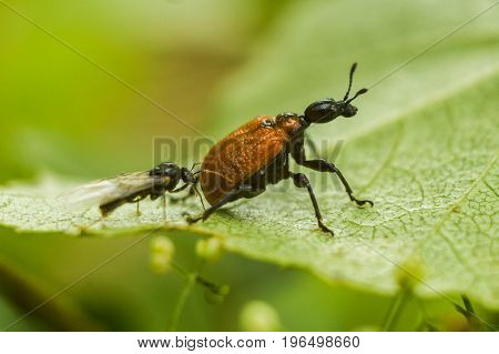 The hazel-leaf roller weevil - Apoderus coryli. The beetle sits on a piece of wood. Behind the beetle is a winged ant. Funny situation among insects.