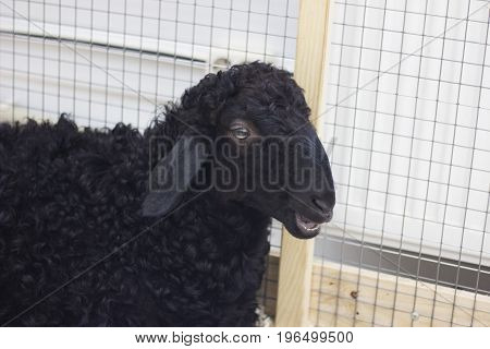 Black lamb chews grass in an enclosure