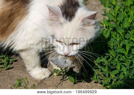 Cute Cat Caught A Mouse And Holds In Teeth Outdoor