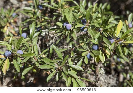 Prunus spinosa Blackthorn or sloe berries on a tree at Torcal de Antequera National Park Malaga Spain