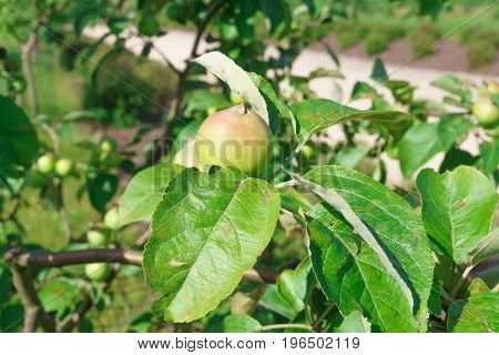 Beautiful ripening green apples on a branch in the garden.