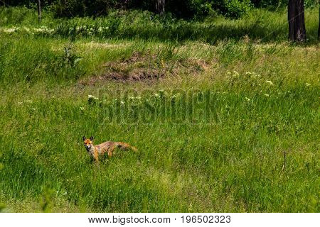 Red Fox (vulpes Vulpes) On Green Meadow. Fox In The Wild