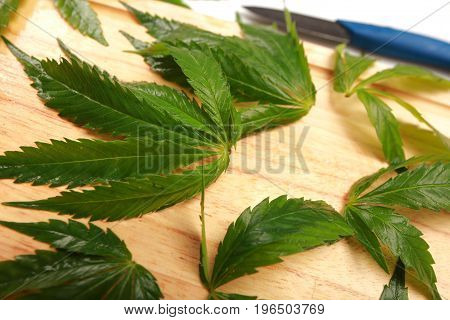 Fresh hemp leaves for salad preparation. The medical cannabis