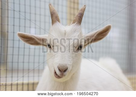 White goat chews and looks at the frame