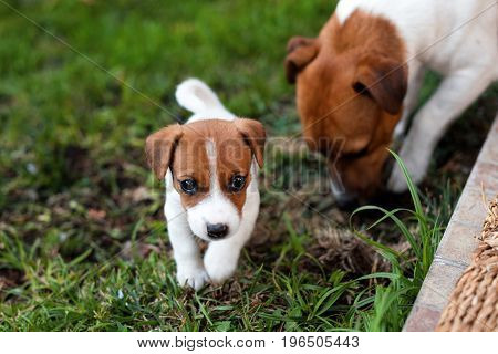 Jack russell dogs playing on grass meadow. Puppy and adult dog outside in the park, summer