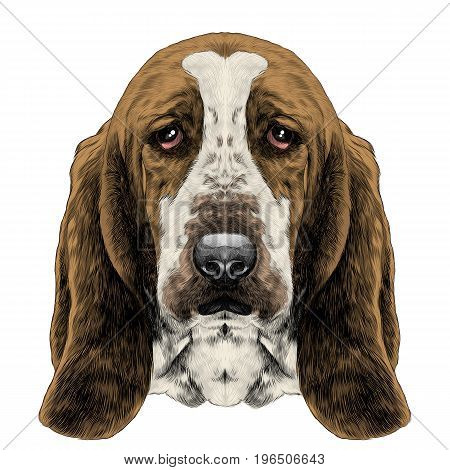 the head of the dog breed Basset hound with long ears sketch vector graphics color picture