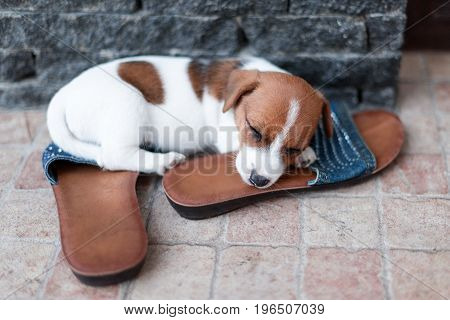 Jack Russel puppy sleeping on the shoes of its owner