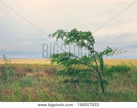 Tree In The Wind In Steppe. Acacia Tree Bends To The Ground By A Strong Wind Close-up. The Backdrop