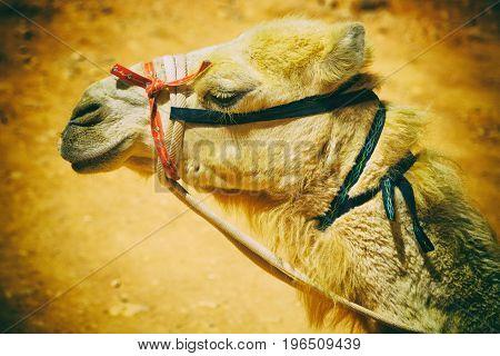 In Jordan The Head Of A Camel