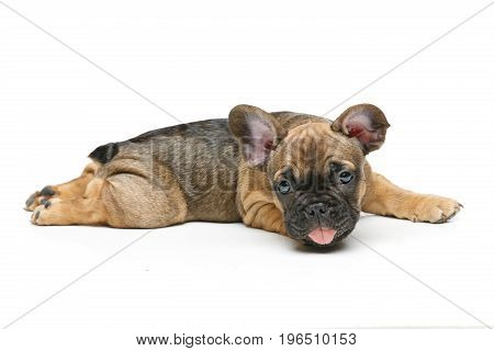 beautiful little French bulldog puppy dog isolated on white. 2 months old. copy space.