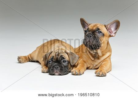 beautiful little French bulldog puppy dogs. 2 months old. copy space.