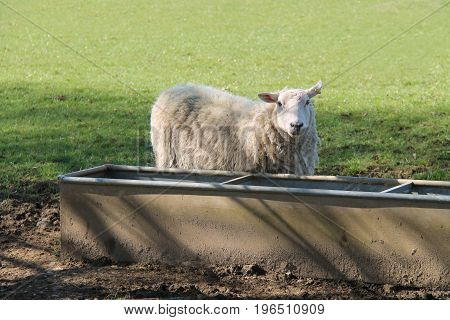 An Adult Ewe Sheep at an Agricultural Water Trough.