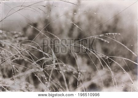 Old Black And White Photo Of Dew Drops On Yellow Grass.