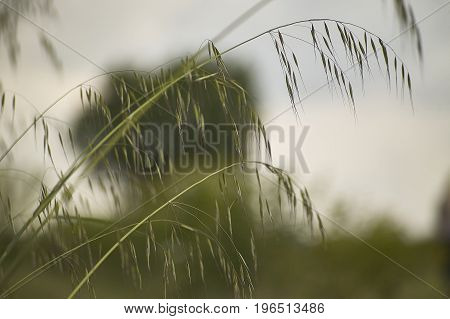 oat Plant in a field driven by the wind Windy yarns a macro detail that evokes melancholy and reflection.