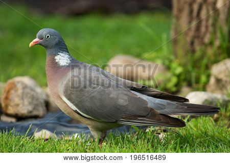 Wild Wood pigeon (Columba palumbus) standing on meadow in summer.Close view with clearly visible details of plumage beak and eyes.Horizontal view.Poland.