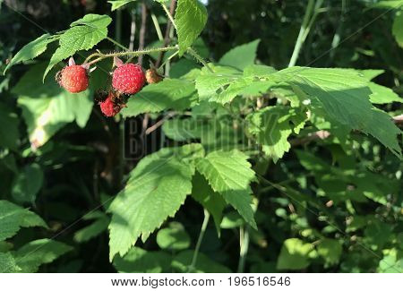 Wild Raspberry from the Genus Rubus species of plants with red ripe berries and the forest background