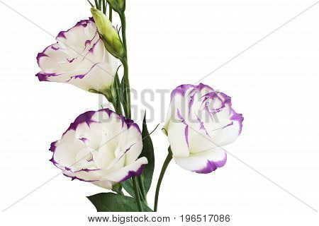 White with purple edges eustoma  flower isolated on white background