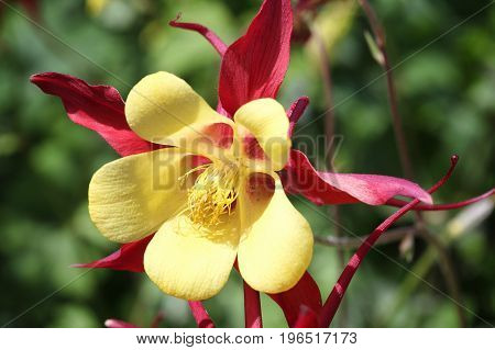 Aquilegia Red Hobbit in full flower blossom which is a spring and summer flowering perennial herbaceous flower plant