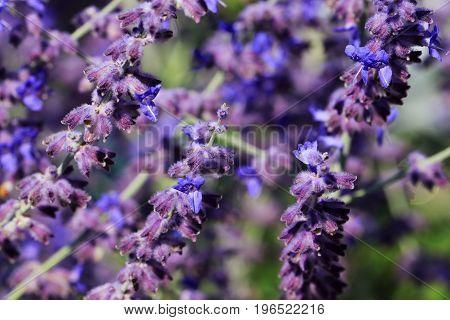 Salvia nemorosa 'Heumanarc' is a rich flowering solid plant