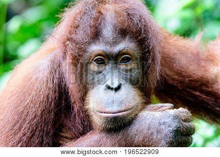 close up of the face of an Orangutan
