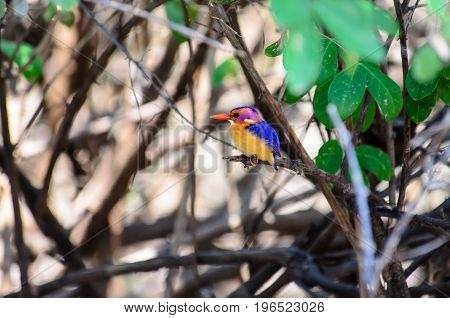 African pygmy kingfisher hiding inside a bush