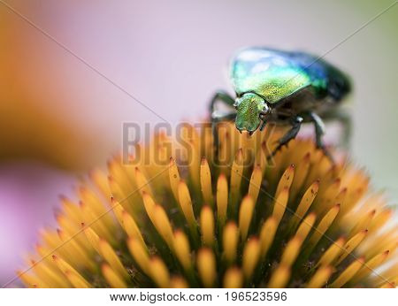 Shell of Bright green Chafer shines on orange flower of echinacea poster