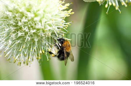 bumblebee collects nectar on a flower of onions