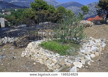 Zrnovnica Split Croatia - July 18 2017: Saved olive tree after massive wildfire burning down the forest and villages around city Split