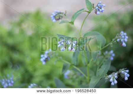 Blue flowers in a field in the summer among the grass
