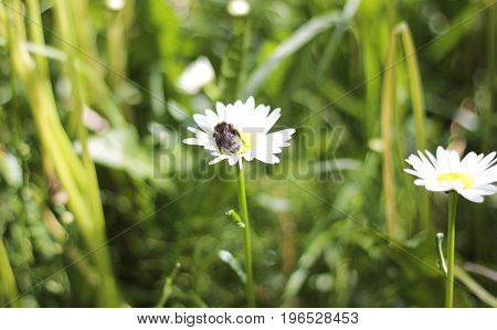 Bumble bee sits on daisy in the field
