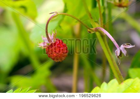 Strawberries growing in the grass. Wild edible berries - healthy vitamin food nature. The season of ripening berries in the forest.