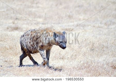 Hyena Walking through the savanna of Ngorongoro Park Tanzania