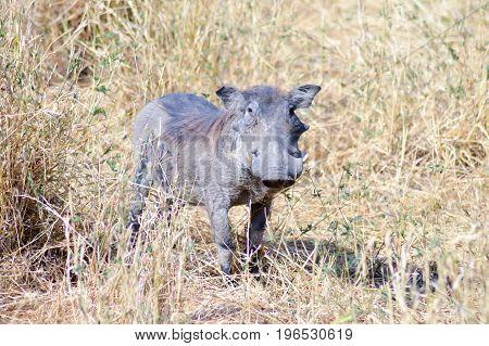 Warthog in the savanna of Tanzania Tarangire Park