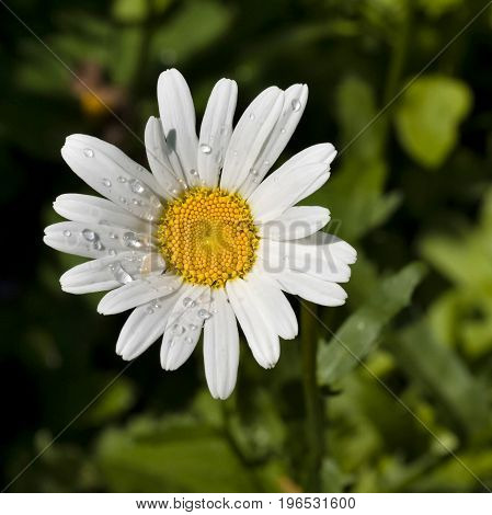 chamomile with dew drops in morning sunlight