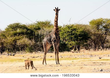 lion cub viewing a giraffe with disdain or is it fear