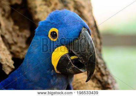 Head shot of a rare Hyacinth macaw