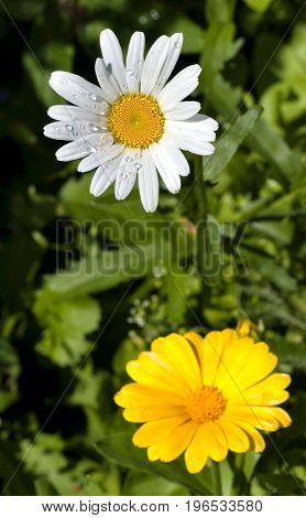chamomile and calendula with dew drops in morning sunlight