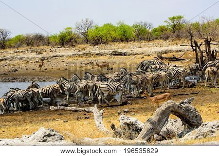 Zebra congregating at a waterhole to drink