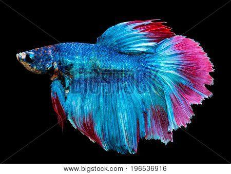 Betta splendens siamese fighting fish isolated on black background