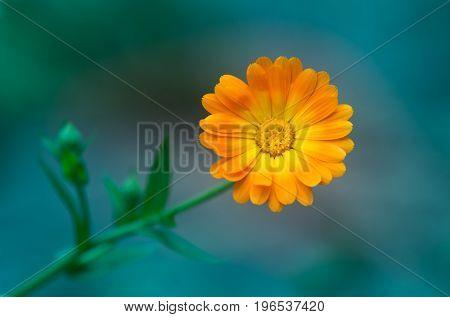 Calendula on celadon background. Beautiful image of a single flower calendula. Medicinal flower