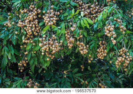 Longan - Tropical fruits young longan in Lamphun Thailand.