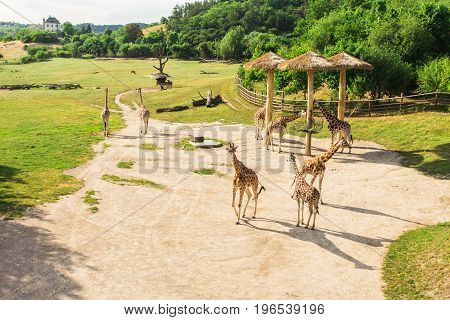Giraffes herd at the zoo. Group of giraffes walks in summer nature