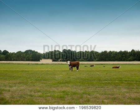 Cows Grazing In A Country Farm Field