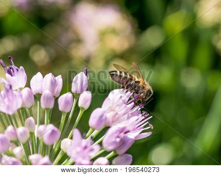 Bees pollinate large spherical umbrellas of wild onion starting to blossom in small flowers.