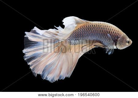 Siamese fighting fish isolated on black background with clipping path