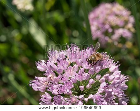 Bees pollinate large spherical umbrellas of wild onion starting to blossom in small flowers
